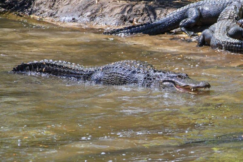 Alligator américain prêt à combattre dans l'eau image libre de droits