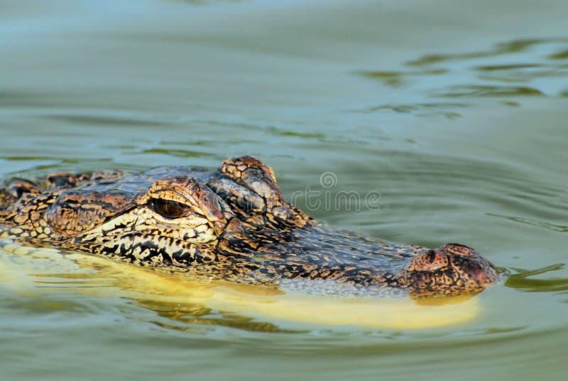 Alligator attentif photographie stock