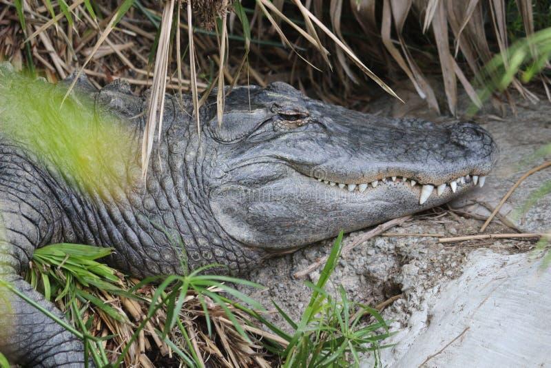 Alligator au soleil image libre de droits