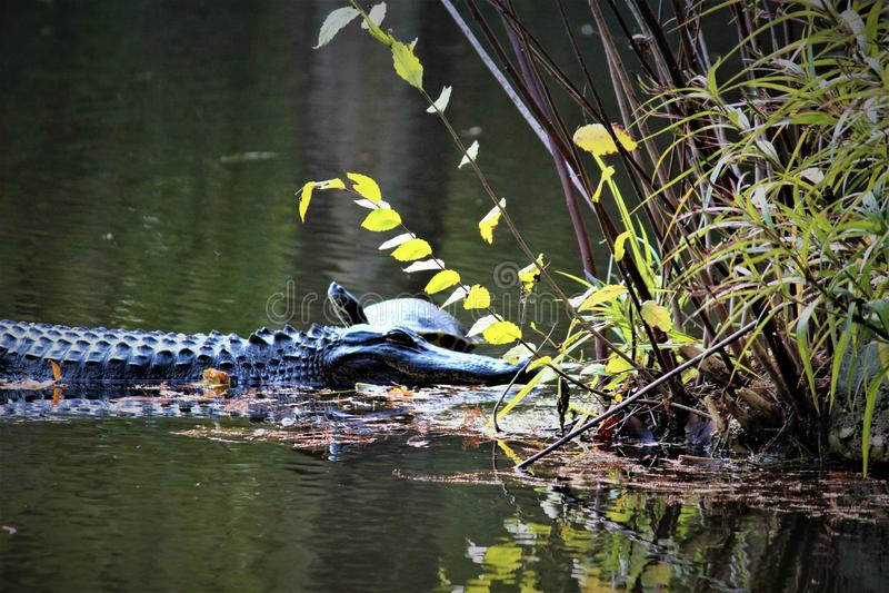 Alligator avec la tortue photo stock
