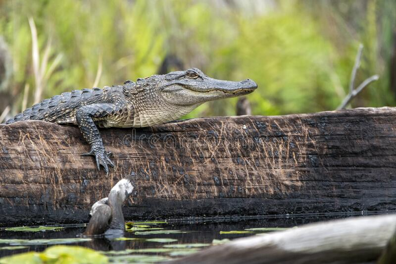 Alligator climbing on a burned cypress log with claw marks, Okefenokee Swamp Georgia. Alligator climbing on a burned cypress log with claw marks Okefenokee Swamp royalty free stock photo