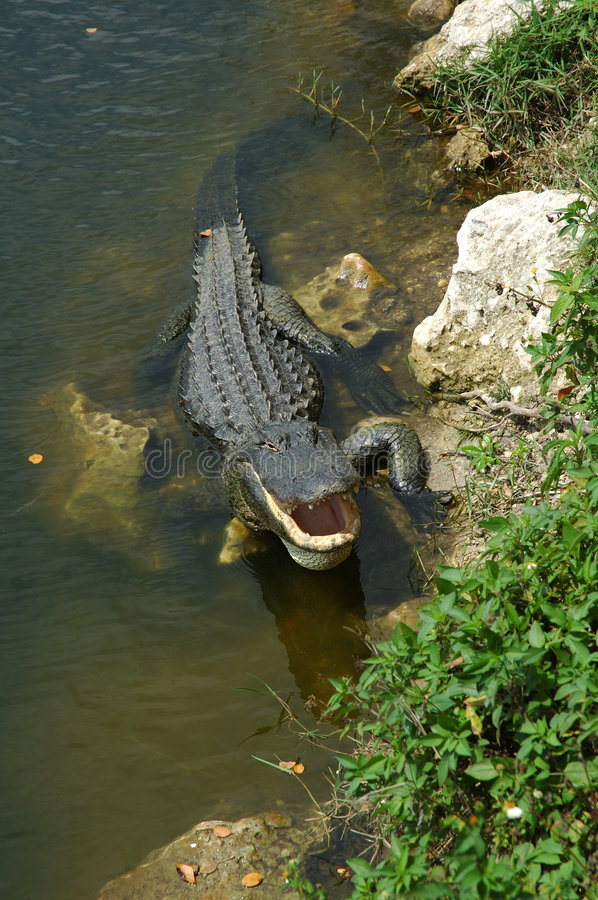 Free Alligator Cooling Off Stock Image - 322571