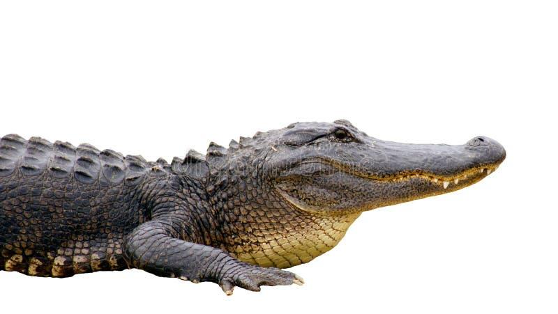 Alligator d'isolement image stock