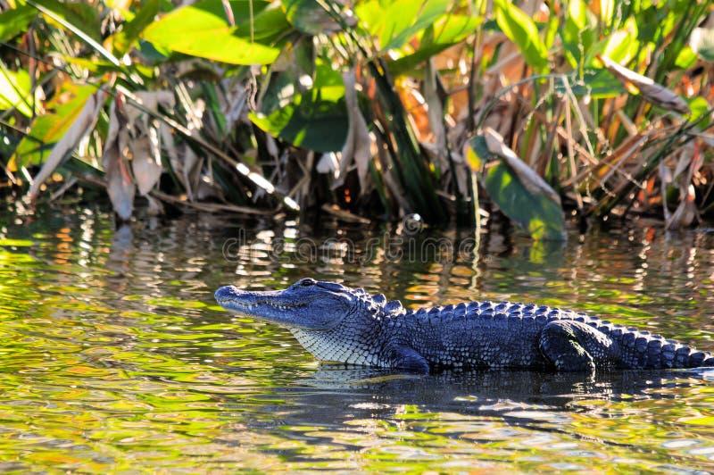 Alligator dans la zone humide photos libres de droits