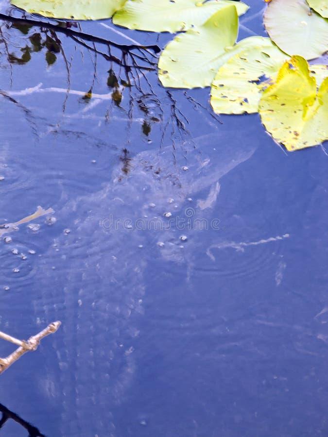Alligator dans les marais photos stock