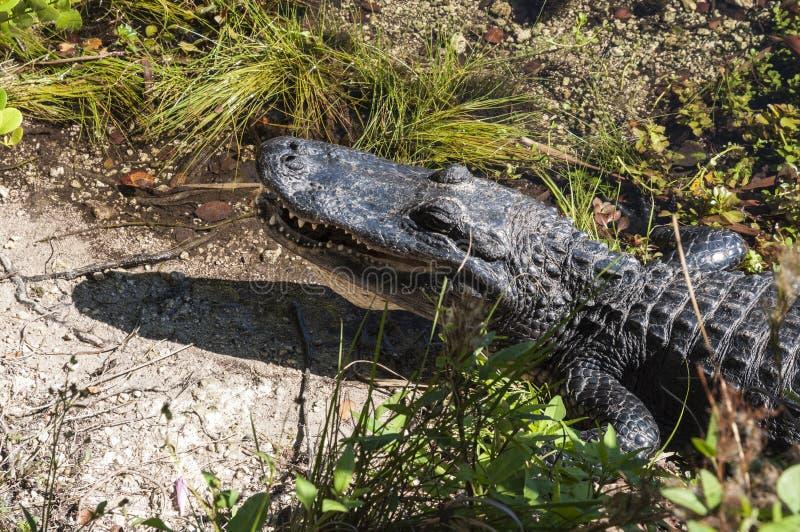 Download Alligator dans les marais photo stock. Image du stationnement - 45353282