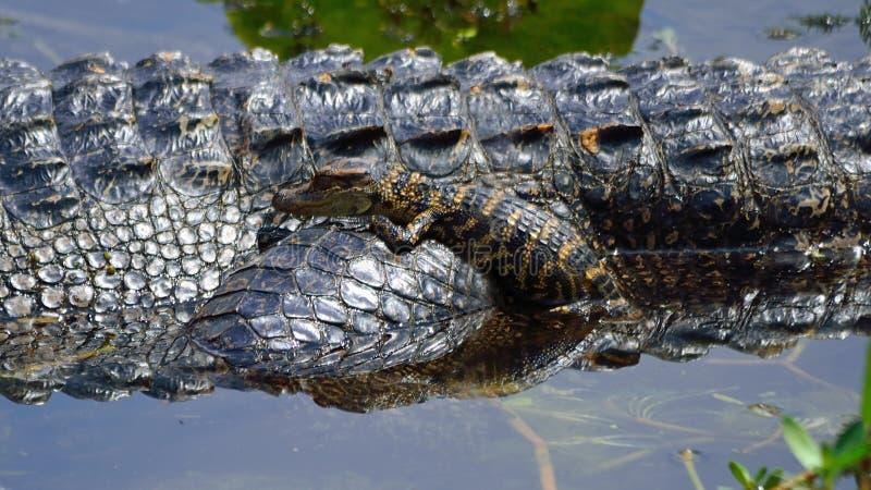 Alligator de bébé photographie stock libre de droits