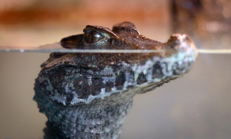 Alligator de bébé sous l'eau images libres de droits