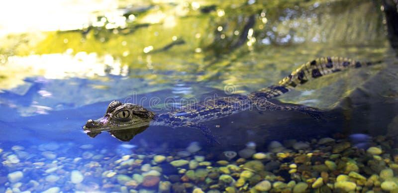 Alligator de chéri images stock