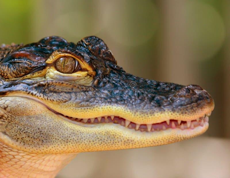 Alligator de chéri photographie stock libre de droits