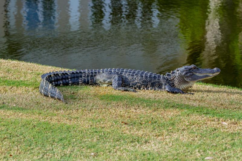 Alligator in de zon royalty-vrije stock afbeeldingen