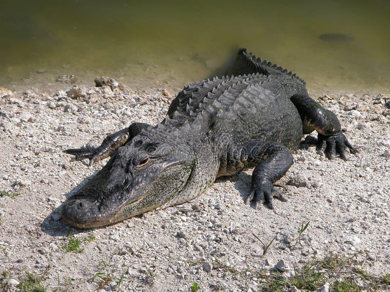 Alligator in de zon stock afbeeldingen