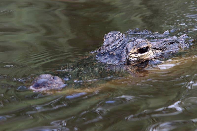 Alligator in den Sumpfgebieten lizenzfreie stockfotografie