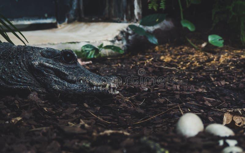 Alligator, der über ihre Eier aufpasst Seitenporträtansicht des Krokodils mit großem Scharfdieb des blauen Auges lizenzfreie stockfotos