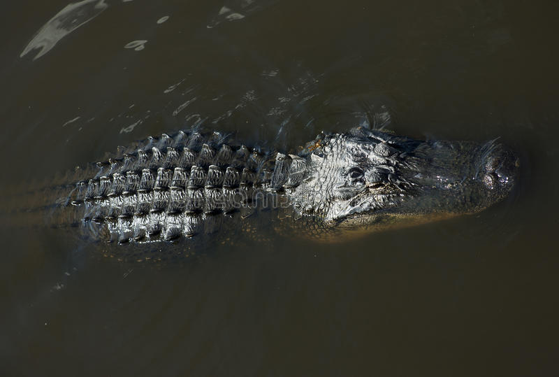 Alligator, der auf dem Fluss stillsteht Myakka-Fluss stockbilder