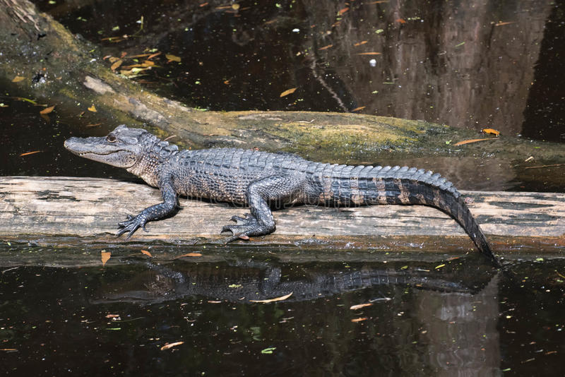 Alligator, der mitten in dem Sumpf liegt lizenzfreies stockbild