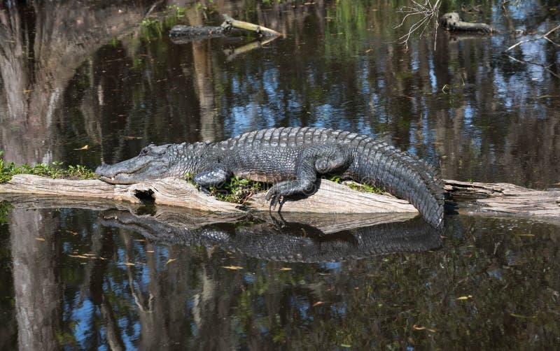 Alligator, der mitten in dem Sumpf liegt lizenzfreie stockfotografie