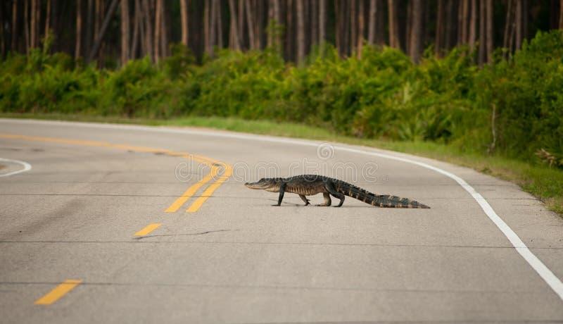 Alligator die de weg kruist stock fotografie