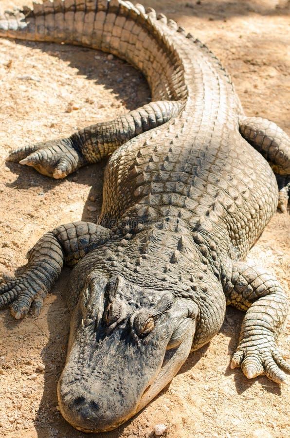Alligator die in de zon ligt stock fotografie