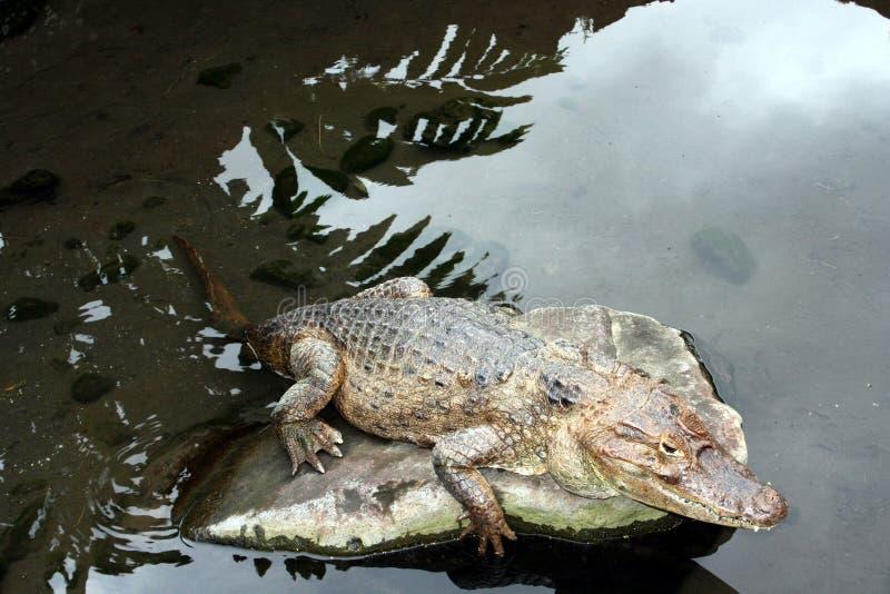 Alligator die in een rots rusten stock afbeeldingen