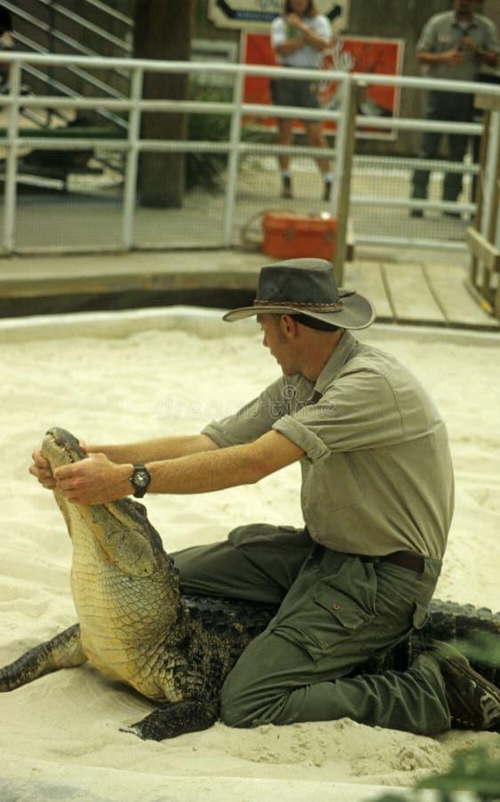 Alligator die in Gatorland worstelt royalty-vrije stock fotografie