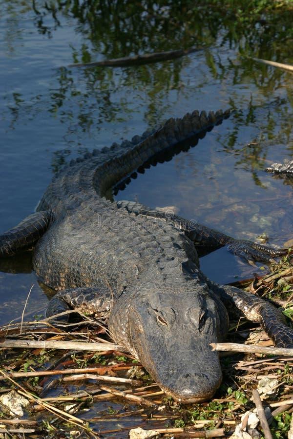 Alligator die op bank rust royalty-vrije stock fotografie