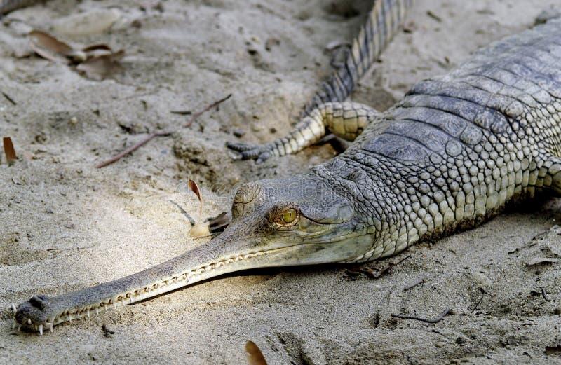 Alligator die rust in zand nemen stock afbeelding