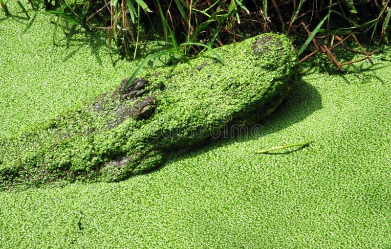 Alligator die uit een Moeras komen stock afbeelding