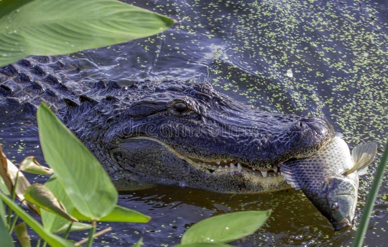 Alligator die Vissen eten royalty-vrije stock fotografie