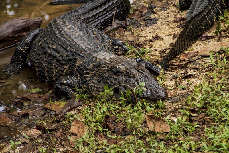 Alligator in een dierentuin in de wildernis van Amazonië stock afbeelding