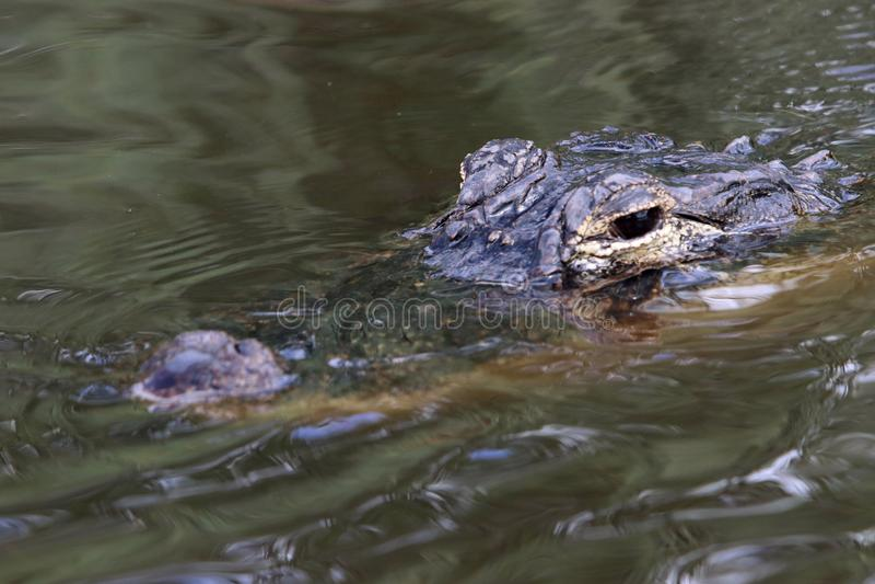 Alligator in Everglades royalty-vrije stock fotografie
