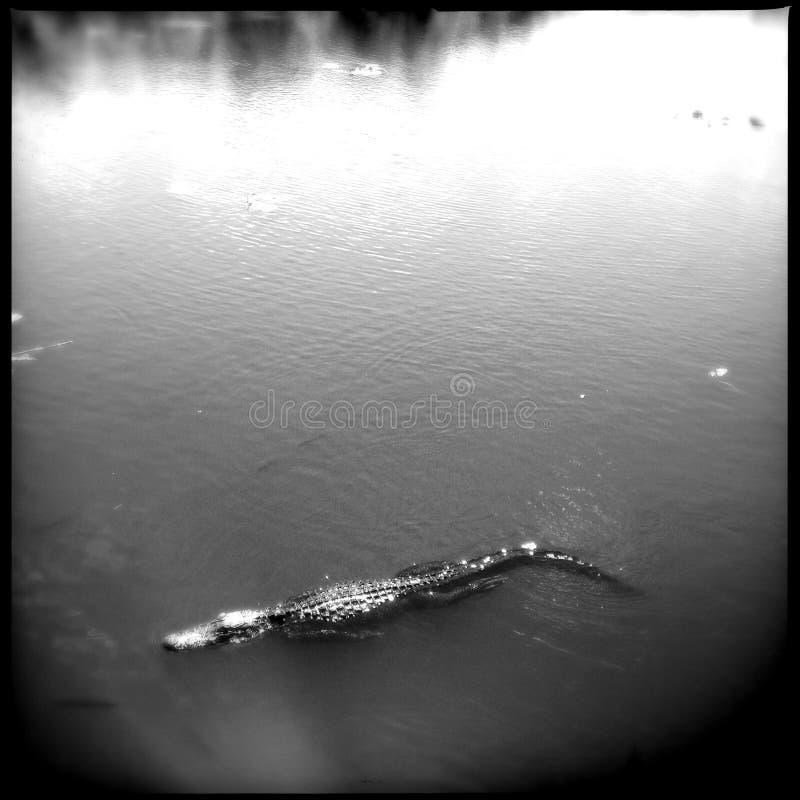 Alligator in Everglades stock photos