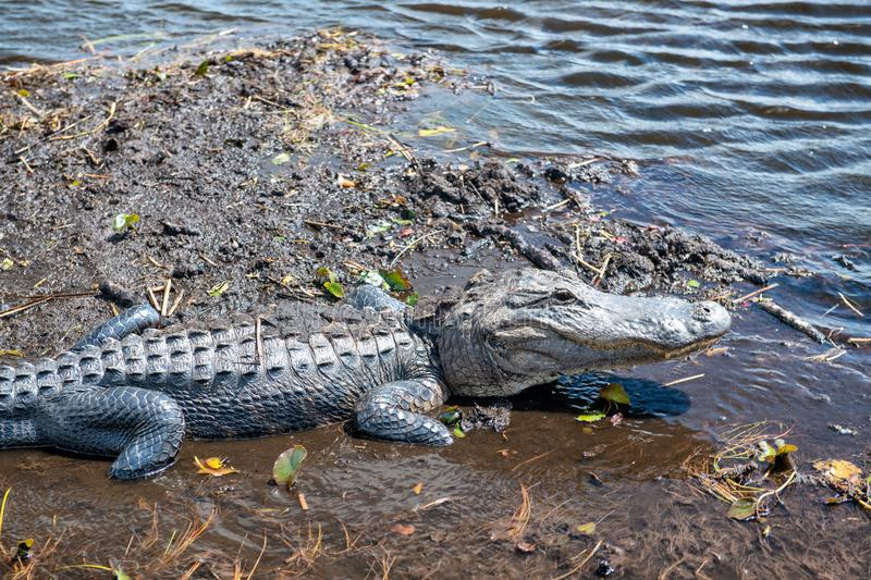 Alligator on the Everglades National Park, Florida - USA stock photography