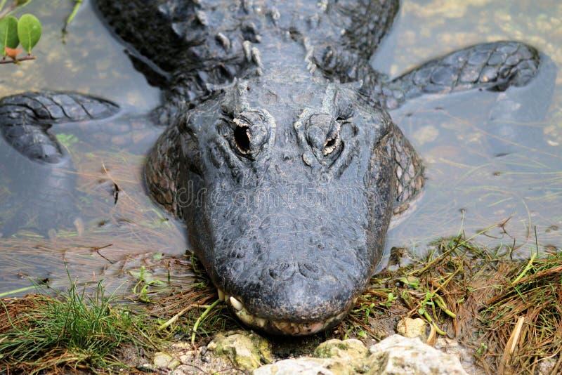 Alligator - Evergladesnationalpark arkivfoto