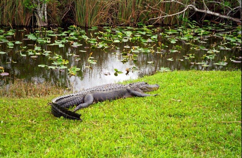 Alligator Evergladesnationalpark, USA royaltyfri bild