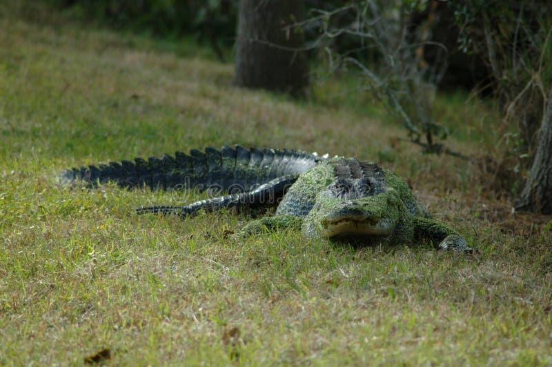 alligator florida arkivfoto