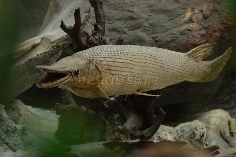 Alligator gar royalty free stock images