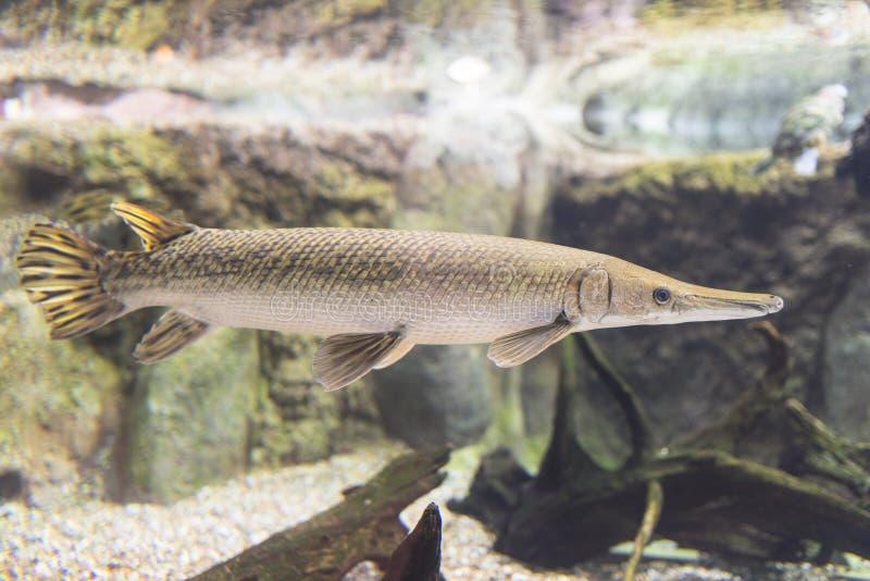 Alligator gar royalty free stock images image 32220829 for Freshwater gar fish