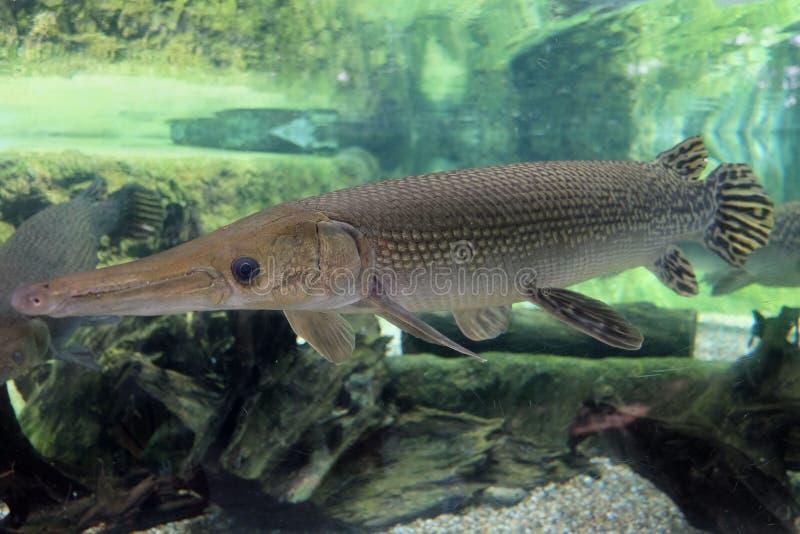 Alligator gar in aquarium stock image image of wildlife for Freshwater gar fish