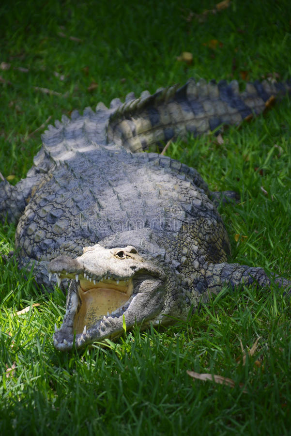 Alligator in Hamat Gader park. Is a hot springs site in the Yarmouk River valley israel stock images