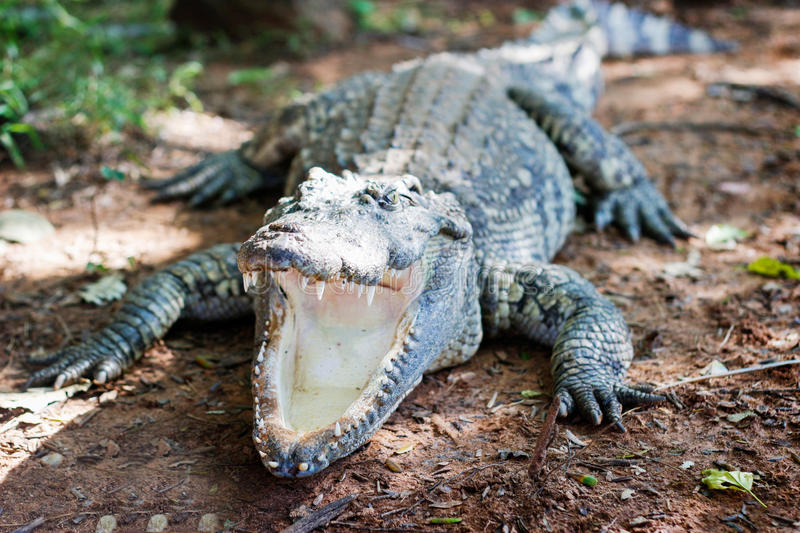 Alligator have no trunk for eating royalty free stock photo