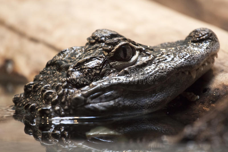 Alligator head. Over the water stock images
