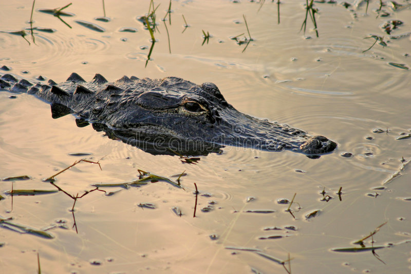 Alligator Head royalty free stock photo