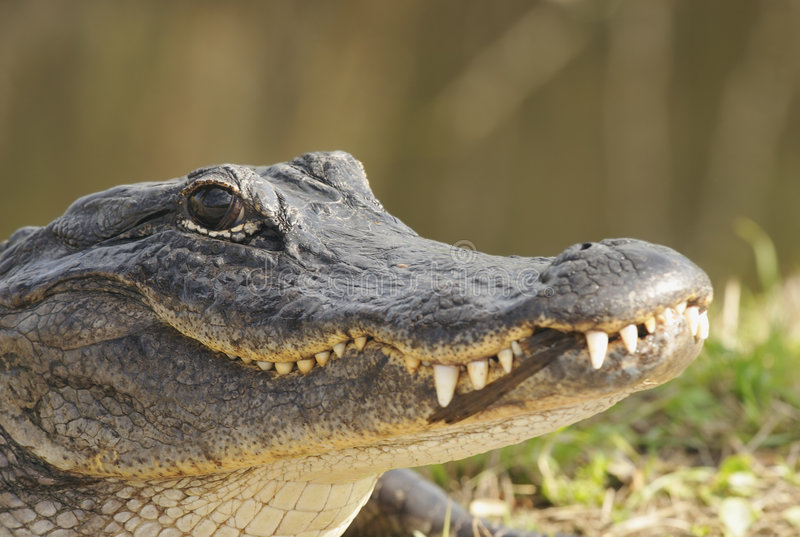 Alligator Head Stock Image