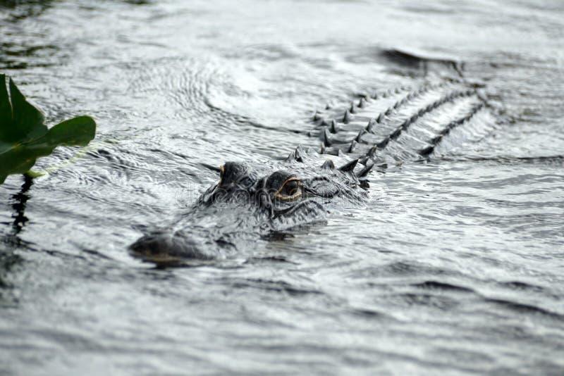 Download Alligator In Het Nationale Park Van Everglades, Florida, De V.S. Stock Afbeelding - Afbeelding bestaande uit overzees, genaturaliseerd: 107700143
