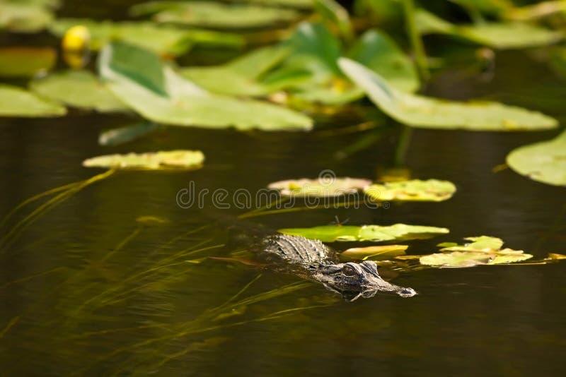 Download Alligator Hunting In Everglades, Florida Stock Photo - Image: 21251998