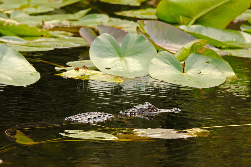 Download Alligator Hunting In Everglades, Florida Stock Photography - Image: 21252002