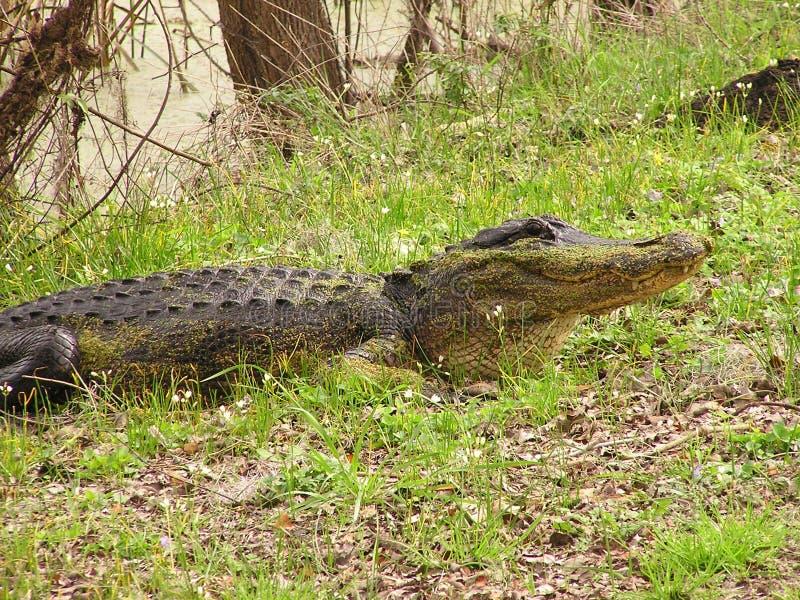 Alligator i träsk royaltyfria bilder
