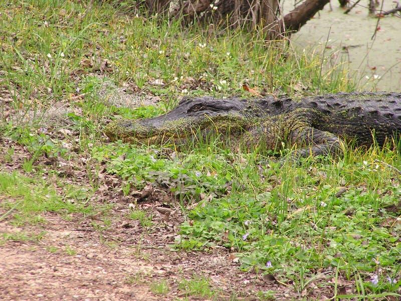 Alligator i träsk royaltyfria foton