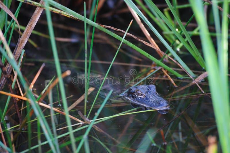 Alligator i träsken arkivfoton